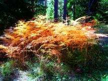 2-golden-ferns