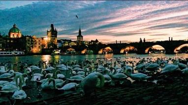 Swans and Charles Bridge at Night