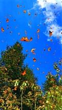 Butterflies in the sky4
