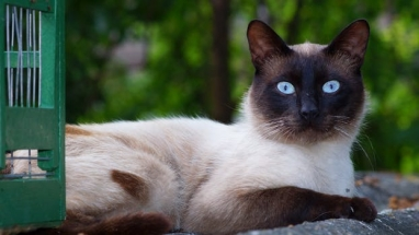 Curiosity Siamese Cat